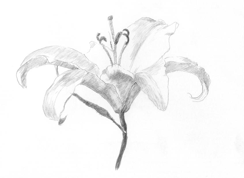 勾出百合花的轮廓图片