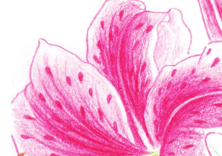 百合花彩色铅笔画图片