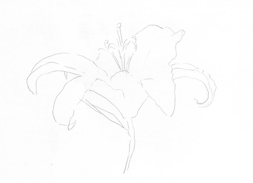 绘画步骤 1.先用淡淡的笔触勾出百合花的轮廓.