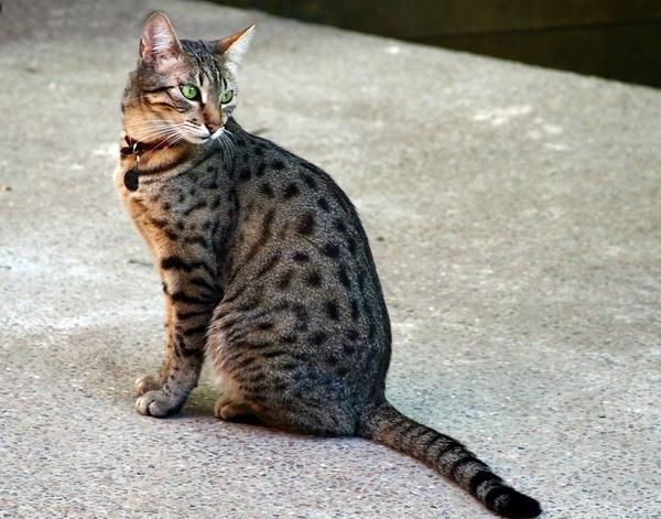 egyptian mau/埃及猫